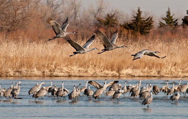 Sandhill Crane Viewing at Rowe Sanctuary