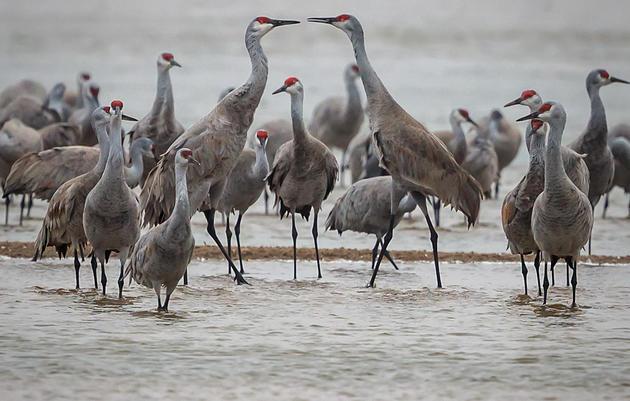 Cranes of Rowe Sanctuary Photo Contest