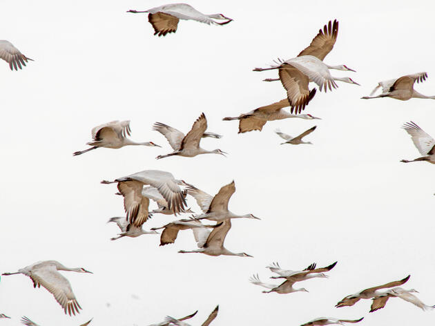 Registration for Sandhill Crane Viewing Delayed until at least February 1
