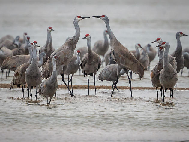 Cranes of Rowe Sanctuary Photo Contest