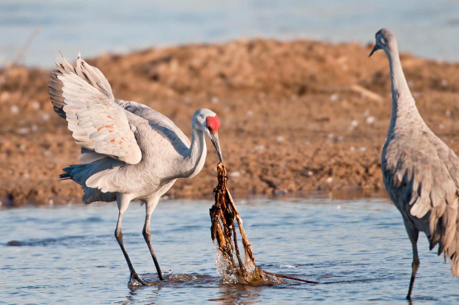Preferred Sandhill Crane Facts | Iain Nicolson Audubon Center at Rowe Sanctuary NV31